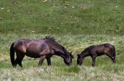 Cheval et poulain mangeant l'herbe Images stock
