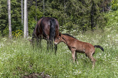 Cheval et poulain mangeant l'herbe Image stock