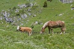 Cheval et vache dans un pré alpin Image libre de droits