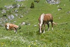 Cheval et vache dans un pré alpin Photo libre de droits