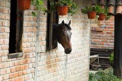 Cheval faisant une pointe de la fenêtre d'écurie de brique Images stock