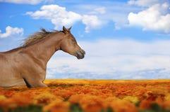 Cheval fonctionnant dans un domaine de fleur Image stock