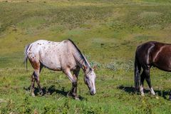 Cheval frôlant, aire de loisirs provinciale de ranch de Glenbow, Alberta, Canada image stock