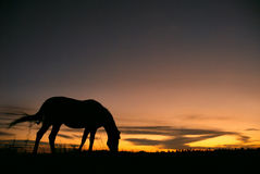 Cheval frôlant au coucher du soleil Photo stock