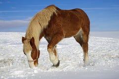 Cheval frôlant en hiver images stock
