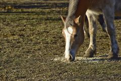 Cheval frôlant parmi l'herbe Photo stock