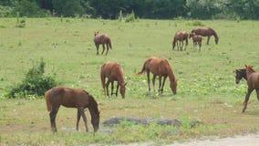 Cheval frôlant sur le pré vert près de la forêt le jour ensoleillé Chevaux de troupeau frôlant sur le pâturage Les animaux de fer banque de vidéos