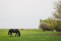 Cheval frôlant dans le pré Photos libres de droits