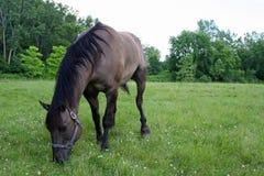 cheval frôlant dans un pré Images libres de droits