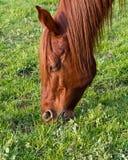 Cheval frôlant l'herbe Photos stock