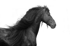 Cheval frison Photographie stock libre de droits