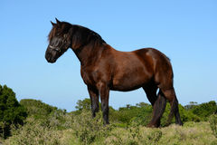 Cheval frison Photographie stock