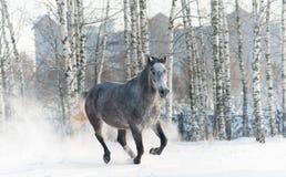 Cheval gris Photographie stock libre de droits