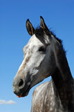 Cheval gris Image stock