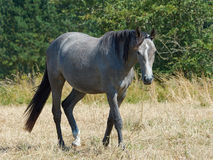 Cheval gris Photo stock