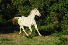 Cheval gris Arabe Photos libres de droits