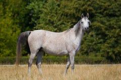 Cheval gris Arabe Photographie stock libre de droits