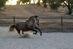 Cheval gris avançant à petit galop Photographie stock libre de droits
