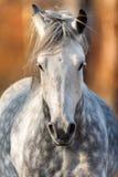 Cheval gris dans le mouvement photos libres de droits