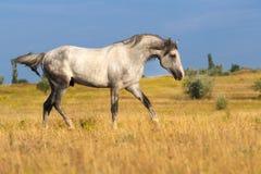 Cheval gris dans le pré photos libres de droits