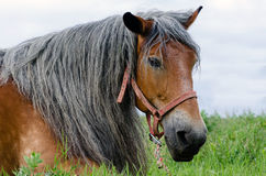 Cheval gris de cheveux Photo libre de droits