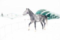 Cheval gris de pur sang andalou dans le domaine d'hiver dans le mouvement sur le fond de l'horizontal multicolore de crèche Photo libre de droits