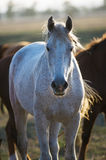 Cheval gris de trotteur de Rose Orlov sur le fond naturel Images stock