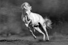 Cheval gris en poussière photos libres de droits