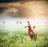 Cheval gris fonctionnant sur la prairie verte d'été au-dessus du beau ciel Photographie stock libre de droits