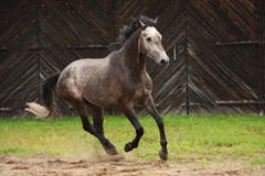 Cheval gris galopant au champ Photo stock