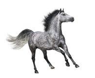 Cheval gris pommelé dans le mouvement sur le fond blanc Photo libre de droits
