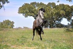 Cheval gris s'élevant dans le domaine Image libre de droits