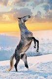 Cheval gris s'élevant sur la neige Photo stock