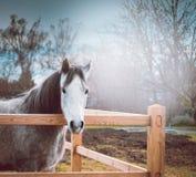 Cheval gris sur la barrière en bois de pré au-dessus du fond de nature de ressort Photographie stock