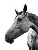 Cheval gris sur le fond blanc Images stock
