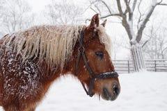 Cheval Haflinger en hiver Photo libre de droits