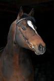 Cheval hannoverian de sport de verticale sur le noir Photographie stock libre de droits