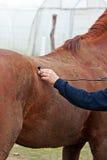 Cheval - inspection vétérinaire Image libre de droits