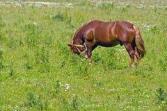 Cheval intense frôlant dans un pré photographie stock libre de droits