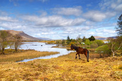 Cheval irlandais en montagnes de Connemara Photographie stock libre de droits