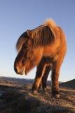 Cheval islandais photo libre de droits