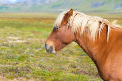 Cheval islandais Image libre de droits