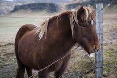 Cheval islandais Photos libres de droits