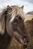 Cheval islandais Photographie stock libre de droits