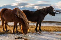 Cheval islandais au coucher du soleil d'or Photographie stock libre de droits