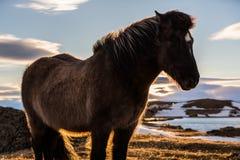 Cheval islandais au plan rapproché de coucher du soleil Image stock