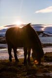 Cheval islandais avec une fusée de lentille Images stock