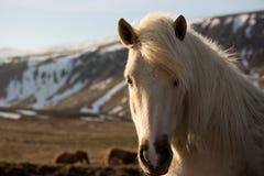 Cheval islandais blanc Image stock