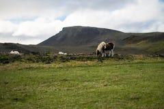 Cheval islandais dans le pâturage Photo stock