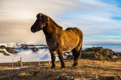 Cheval islandais dans le pré Images libres de droits